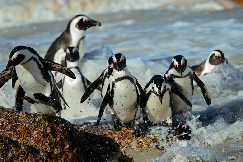 African penguins (Spheniscus demersus) in shallow water, Western Cape, South Africa