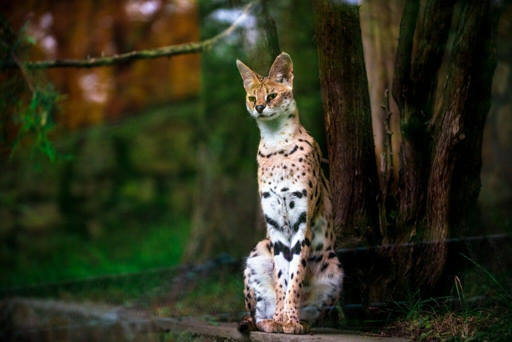 Serval cat properly standing at the base of a tree in the forest