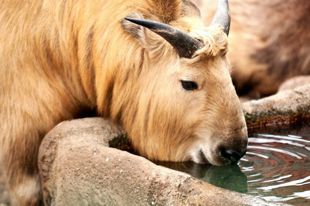 A huge animal with the snoot of a moose and the horns of a sheep is drinking water from his water trough