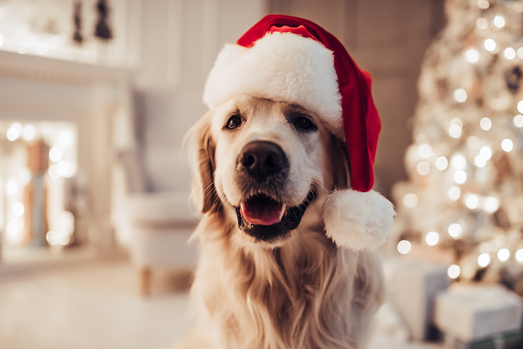 Merry Christmas and Happy New Year! Cheerful dog labrador is sitting in Santa Claus hat. Golden retriever is waiting for the holiday at home.