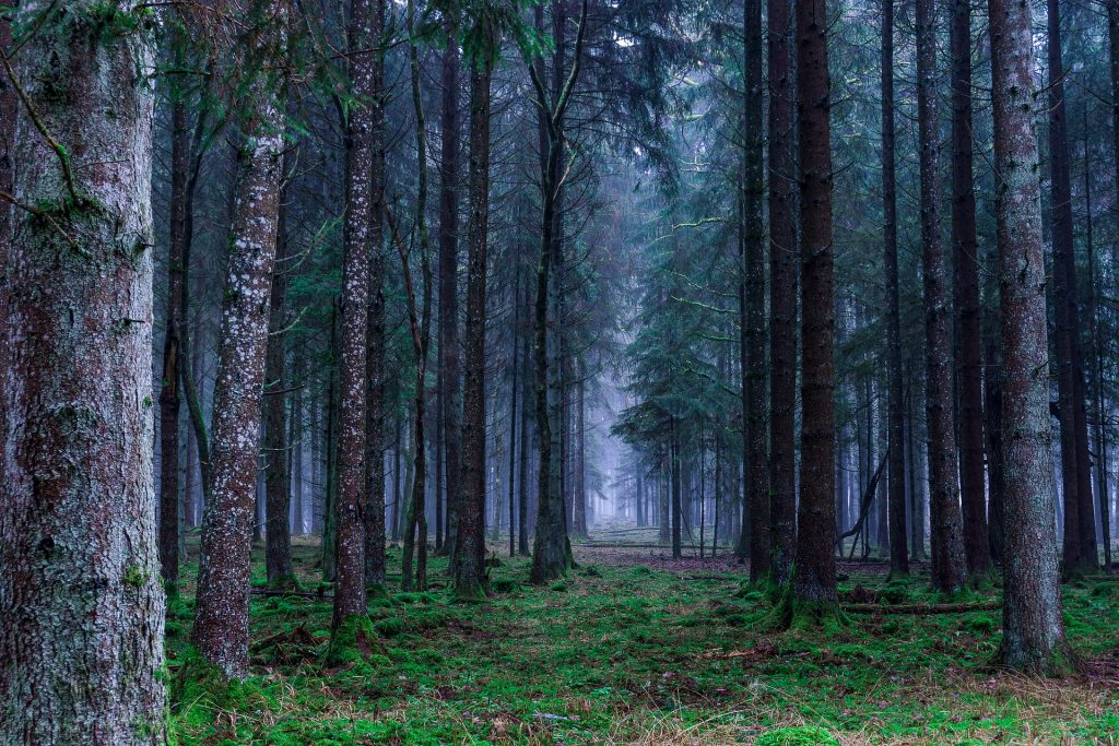 Dark creepy forest trail with tall trees and thin fog