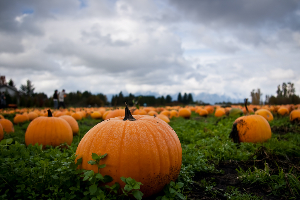 Pumpkin Patch with low perspective