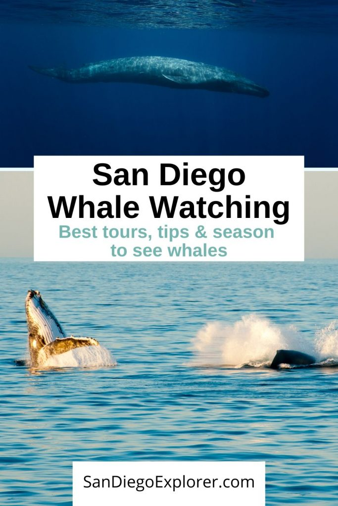 San Diego Whale Watching Tours - Tips for Whale Watching in San Diego - Whale Watching Season San Diego - Here is everything you need to know about Whale Watching in San Diego. including the best tours, what to pack for whale watching, and our best tips from a San Diego local. This is one of San Diego attractions and best things to do in san diego #sandiego #whalewatching #socal #travel #traveltips #california #visitsandiego #nature #boattrip #boating #whales #animals #mammals #sandiegoexplorer