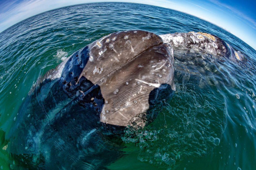grey whale nose travelling pacific ocean in baja california