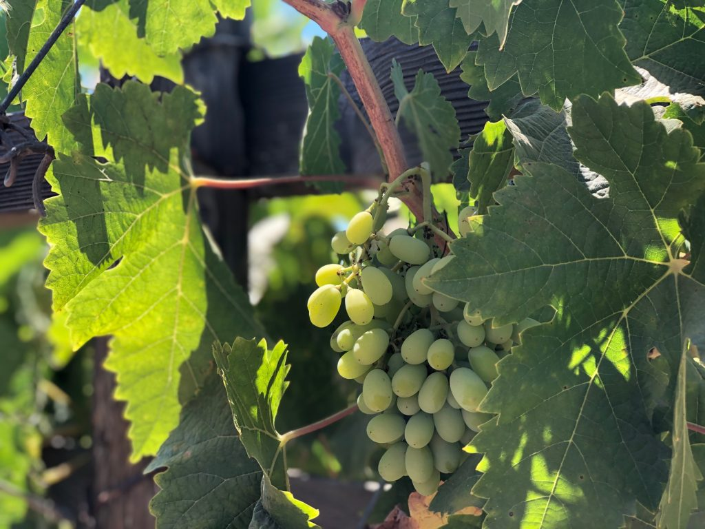Wine Grapes in Valle de Guadeloupe - Weekend trip from San Diego